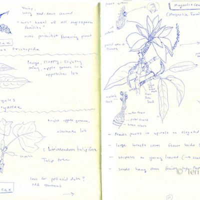 Magnoliaceae sketches, pen on paper