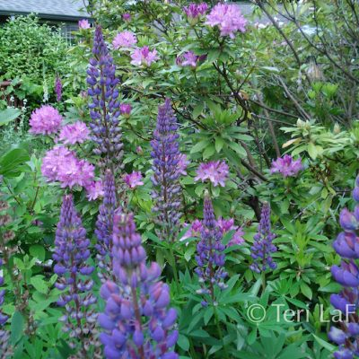 Front rhodies and lupines